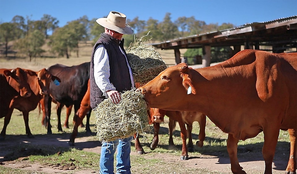 Man giving dry grass bush to cow